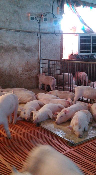 江门恩平养猪场